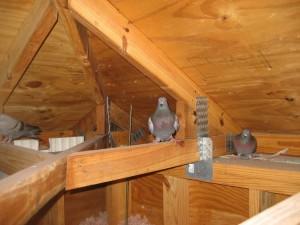 pigeon-in-attic